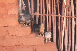 Rural poultry