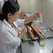 Laboratory staff demonstrating harvesting allantoic fluid to make I-2 Newcastle disease vaccine