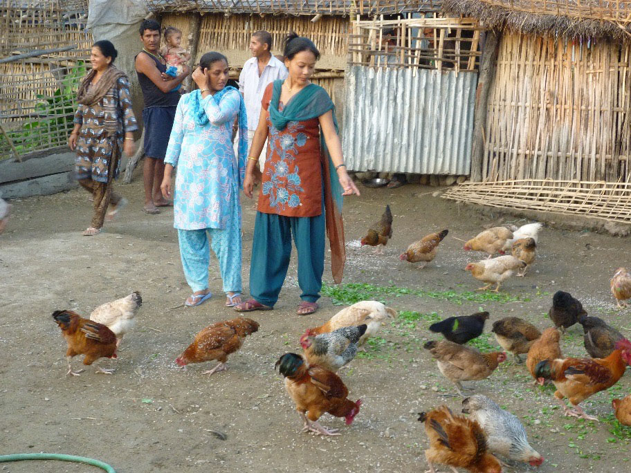 Workshop participants undertake a field visit to look at impact of Newcastle disease vaccination on village chickens, with flock sizes increasing dramatically.